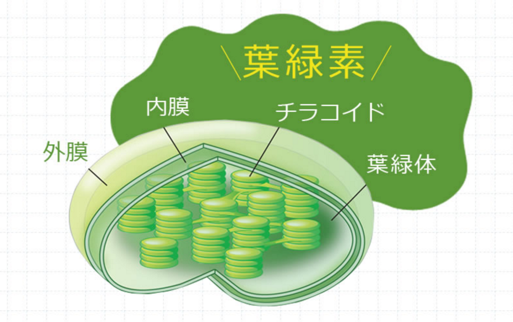 チラコイドは葉緑素の中に